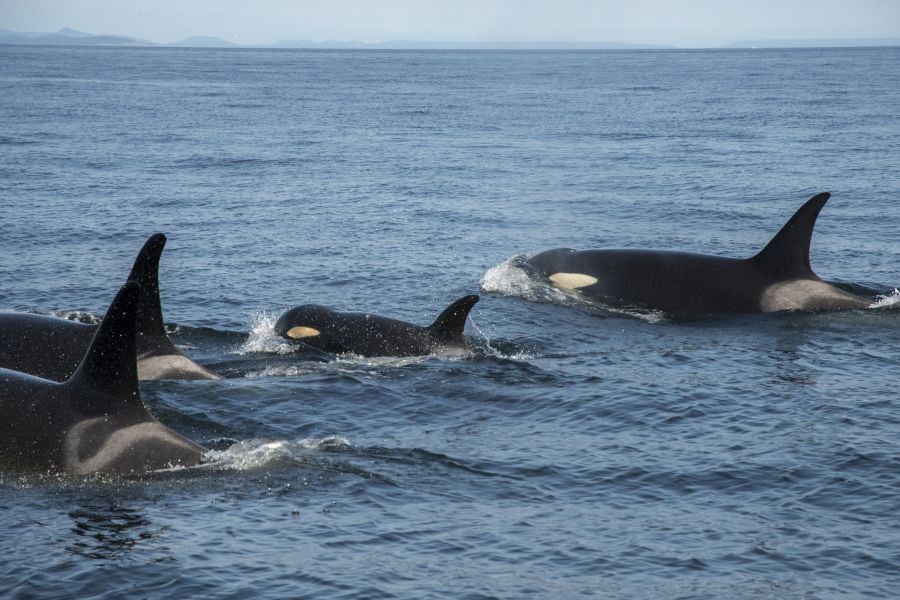 <who>Photo Credit: NOAA Fisheries West Coast</who>J50 with her pod