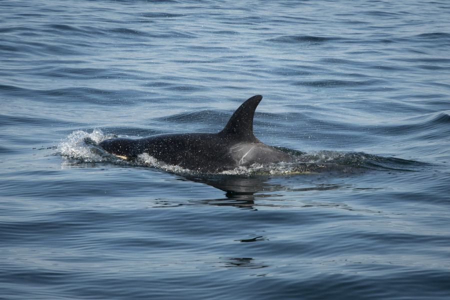 <who>Photo Credit: NOAA Fisheries West Coast</who>J50 in August, still keeping up with her pod but very emaciated.