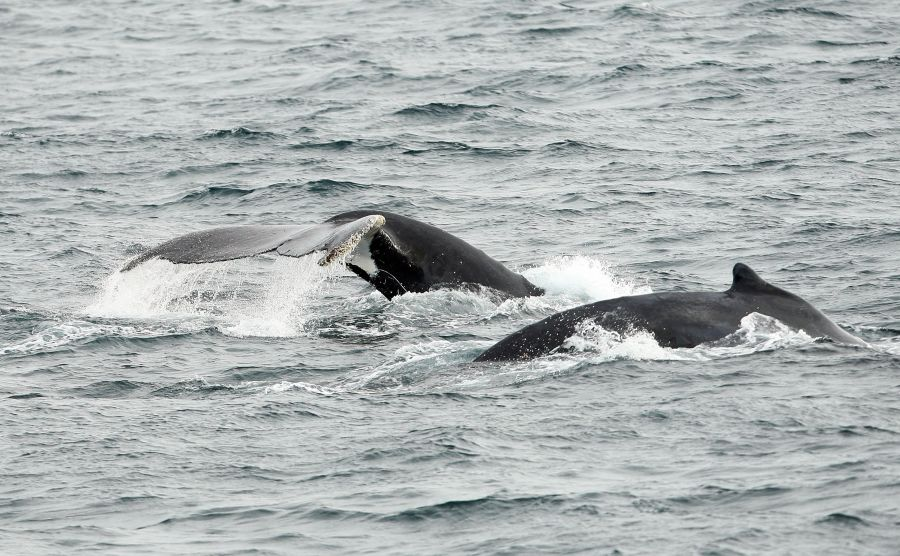 <who>Photo Credit: Getty Images</who>2 humpback whales spotted near Sydney, Australia.