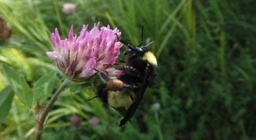 American bumblebee facing 'imminent extinction' in Canada, study shows